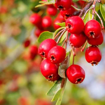 Herbatka ziołowa na ciśnienie głóg